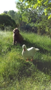 Puff the dog with her friend Greta the duck who was sadly killed by a hawk yesterday